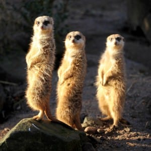 three_meerkats